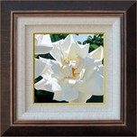 Brian Davis Still Life Radiant Rose - Framed