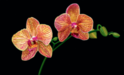Scott Jacobs Limited Edition Giclee on Canvas Phalaenopsis